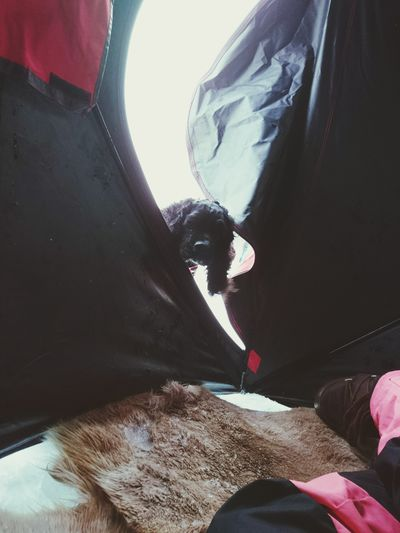 Bella Fishingtent American Cocker Spaniel Curious Hello