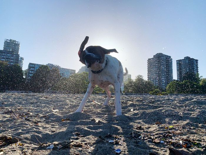 Dog standing in city against clear sky