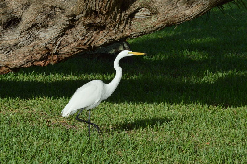 Egret on grassy field