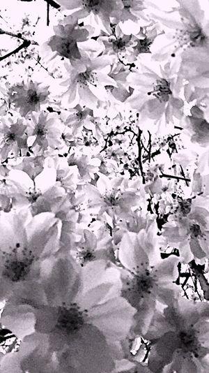 2016cherryburassamu🌸🌸🌸 Japan Walking Alone... Cloudy Sky 枝垂れ桜