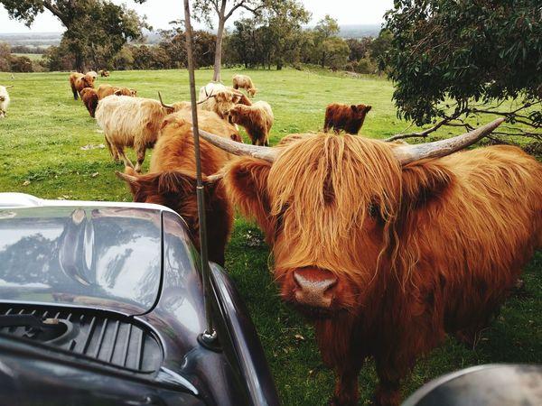 Very friendly cattle Scottish Highland Cattle Peel Region Farm Animals