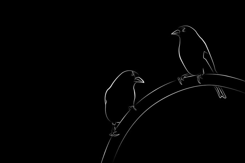 Line drawing of two gold finches. Actually I based it on two different photos of the same gold finch taken from the same position. Art, Drawing, Creativity Artistic Birds Of EyeEm  Black & White Minimalist Abstract Animal Themes Animal Wildlife Art Beauty In Nature Bird Birds Birds_collection Black And White Black Background Close-up Drawing Drawing - Art Product Gold Finch Graphic Design Graphicdesign Minimalism Nature Outdoors Vector Art
