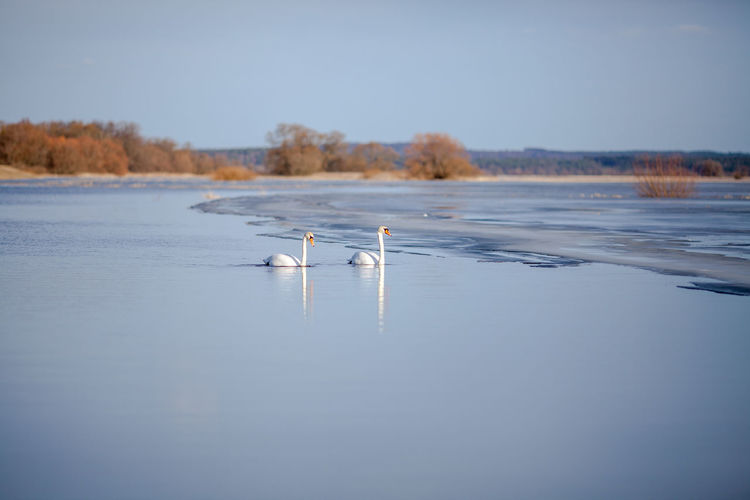 Scenic view of white swans swimming in lake against clear sky
