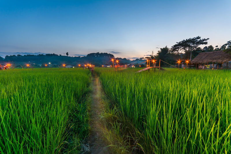 Footpath In Rice Paddy Field Against Sky