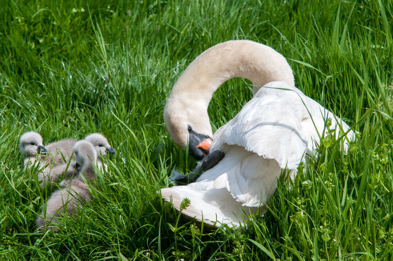 Close-Up Of Swan With Cygnets On Field