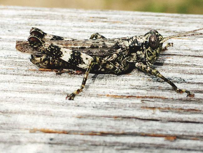 Bug Grasshopper Nature