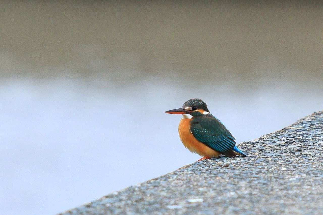 animals in the wild, animal wildlife, animal themes, bird, vertebrate, animal, one animal, perching, day, kingfisher, no people, selective focus, solid, outdoors, close-up, nature, rock, rock - object, focus on foreground, zoology