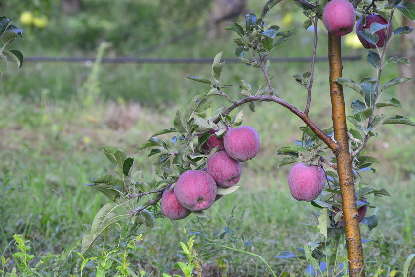 ripe apple orchard ,, morning shot Apple Fruit Apple Orchard Apple Tree Autumn Close-up Day Green Harvest Morning Dew Morning Shot No People October Outdoors Ripe Apple