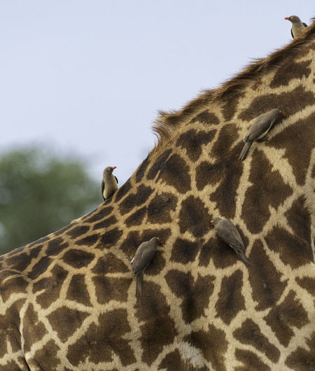 The relationship between the oxpecker birds and giraffes