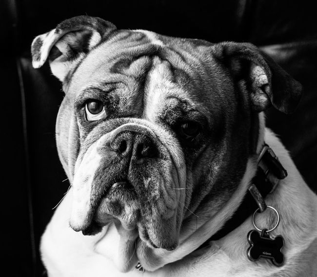 Animal Head  Animal Themes Black And White Portrait Bulldog Bulldog Eyes Bulldogs Comfortable Dog Dogs Domestic Animals English English Bulldog EnglishBulldog Natural Light Portrait Indoors  Looking At Camera Pet Portraits One Animal Pet Portrait Pets Portrait Relaxation Sad Eyes Maximum Closeness Wrinkles