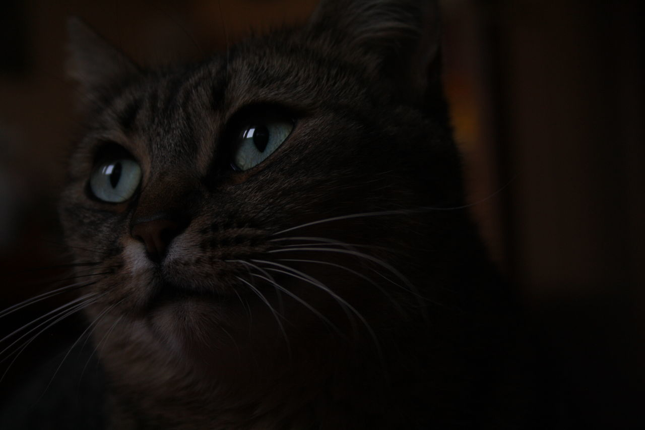 domestic, pets, domestic animals, animal themes, mammal, cat, domestic cat, one animal, animal, feline, vertebrate, looking at camera, portrait, close-up, whisker, indoors, animal body part, no people, animal head, eye, animal eye, snout