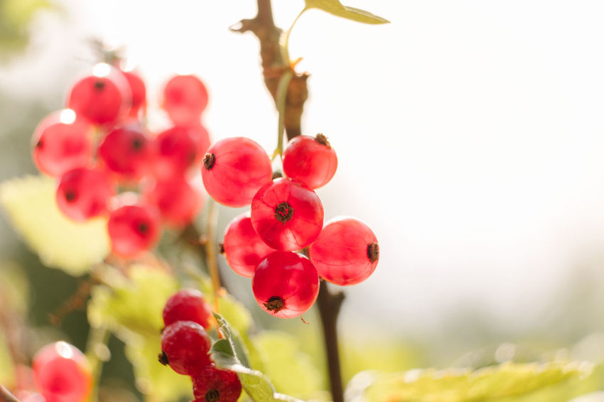 Copy Space Sunlight Beauty In Nature Close-up Day Delicious Flowering Plant Focus On Foreground Food Food And Drink Fragility Freshness Fruit Growth Juicy Nature No People Outdoors Plant Red Red Currant Ripe Selective Focus Summer Vulnerability