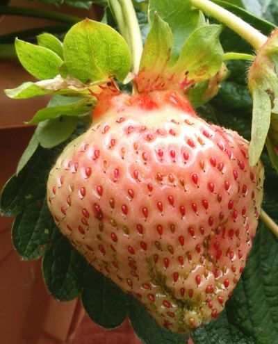 will be DeliciousClose-up Big Strawberry Discoloured Grow Your Own Home Grown Healthy Food Healthy Fruit Growing Plants Plants Green Leaves Nature On Your Doorstep Nature Photography Nature_collection Nature Not Ripe PINKY Seeds Growing Grow Growth Leaves Strawberry Plant Strawberry