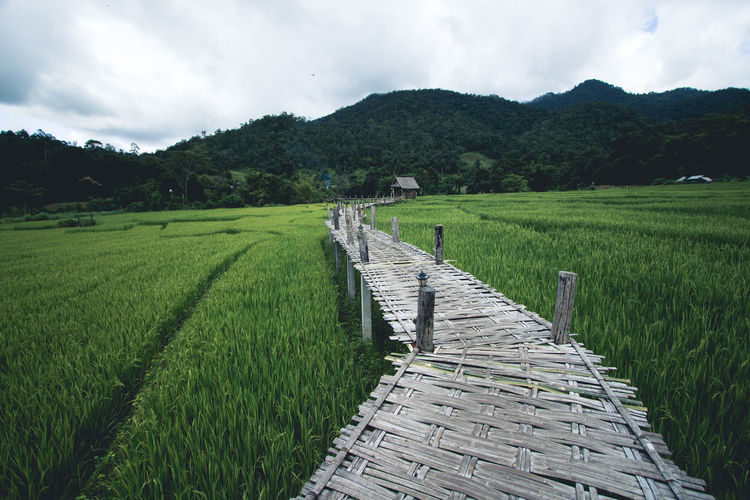 Rice field A wooden bridge on a rice field travel pai thailand Agriculture Beauty In Nature Cloud - Sky Crop  Day Farm Field Grass Green Color Growth Landscape Mountain Mountain Range Nature No People Outdoors Rice - Cereal Plant Rice Paddy Rural Scene Scenics Sky Terraced Field Tranquil Scene Tranquility Tree