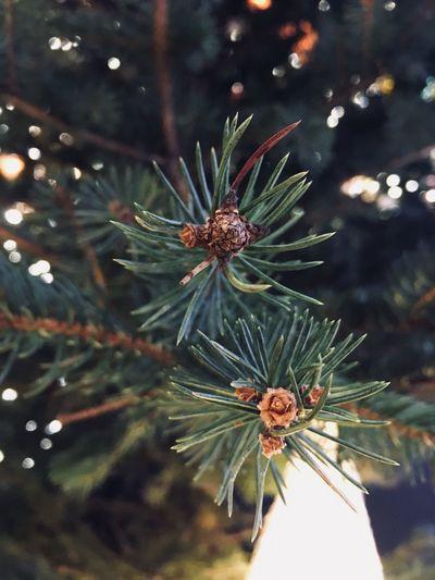 Fir Tree My