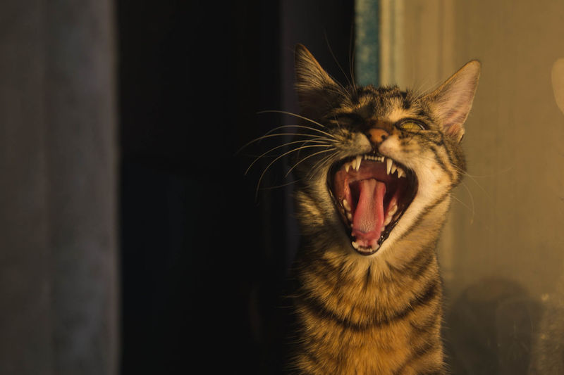 Close-up of cat yawning at home