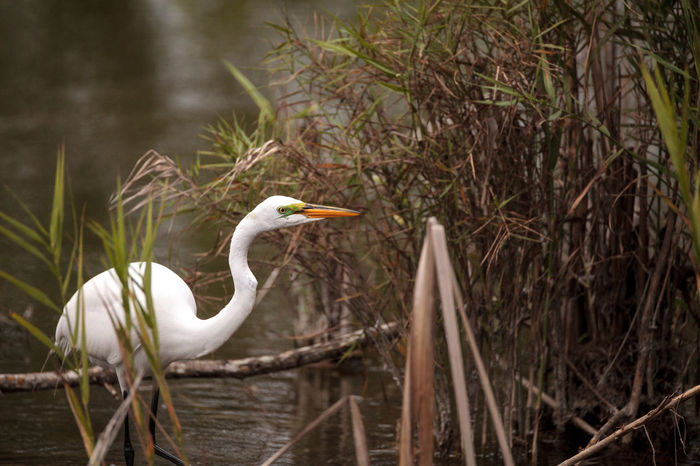 Great Egret Ardea alba in a marsh at Lakes Park in Fort Myers, Florida Marsh Swamp Wetland Animal Themes Animal Wildlife Animals In The Wild Ardea Alba Avian Bird Birds Day Eat Egret Florida Forrage Great Egret Nature No People One Animal Outdoors
