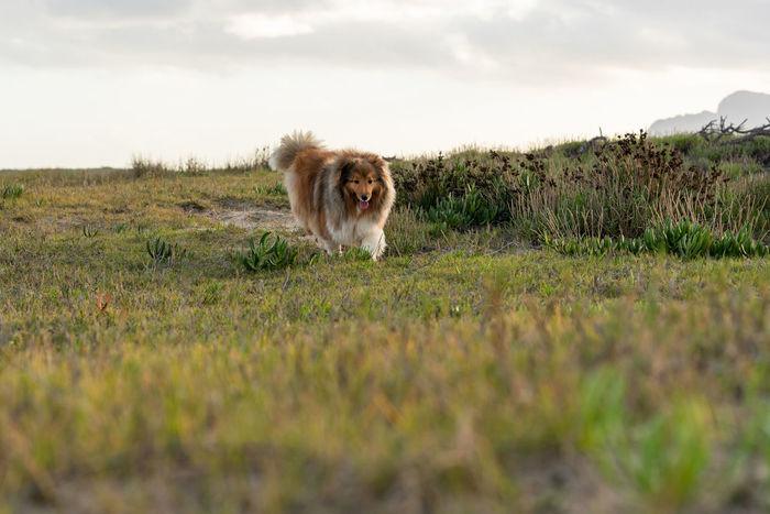 Dog Dog Running Dogs Of EyeEm Dog Running Towards Photographer Dog Outside Shetland Sheepdog Shetlandsheepdog Dog Photography Nature On Your Doorstep Reflections Dogslife Dog Outdoors Animals Nature_collection EyeEm Selects Grass Sky Grass Area Field