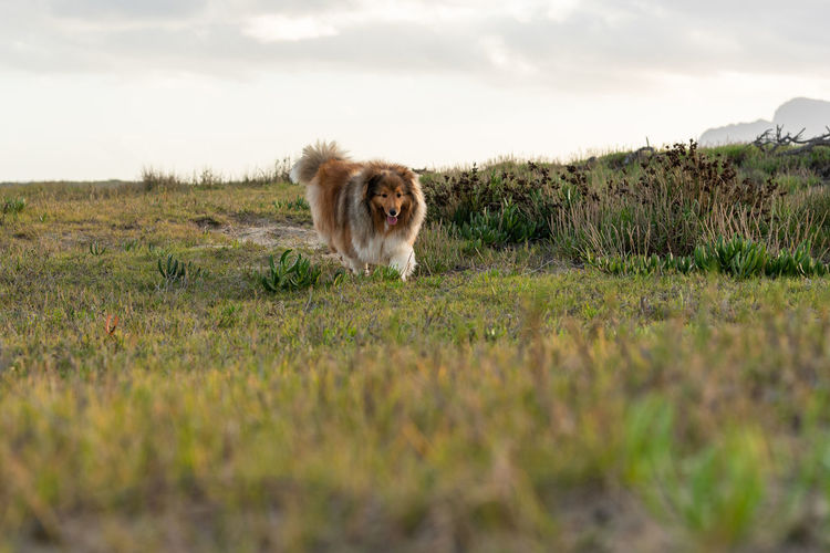 Dog Dog Running Dogs Of EyeEm Dog Running Towards Photographer Dog Outside Shetland Sheepdog Shetlandsheepdog Dog Photography Nature On Your Doorstep Reflections Dogslife Dog Outdoors Animals Nature_collection EyeEm Selects Grass Sky Grass Area Field