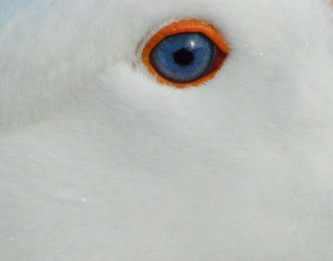 Blue Close-up Day Duck Eyeball Eyelash Eyesight Feather  Goose Iris - Eye Looking Outdoors