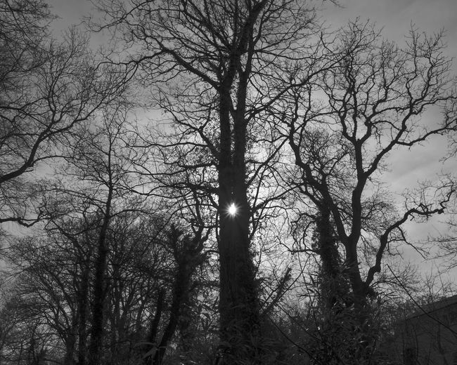 Sun Star Trees Bare Tree Beauty In Nature Black And White Branch Day Low Angle View Nature No People Outdoors Sky Tree Woodscapes