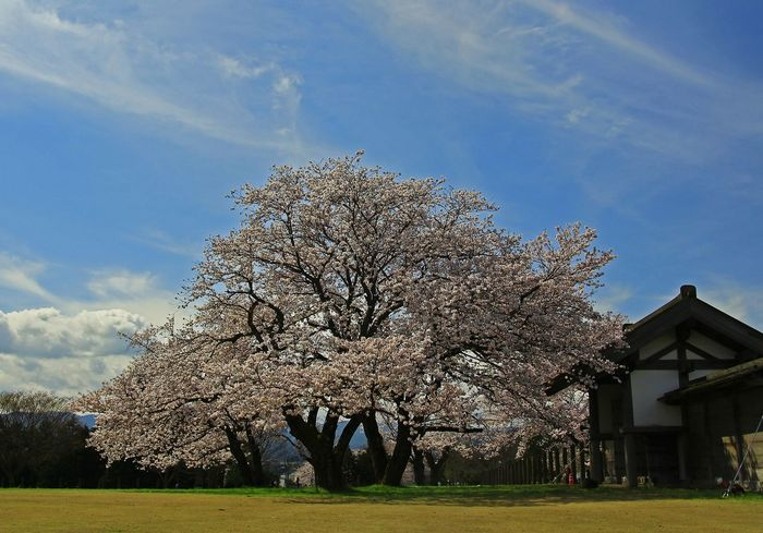 Tree Outdoors Sky No People Day Nature City Life Cherry Blossoms Beauty In Nature Sakura☆cherry BlossamTree Sakura Tree Cloud - Sky Clear Sky Sunlight Cityscape