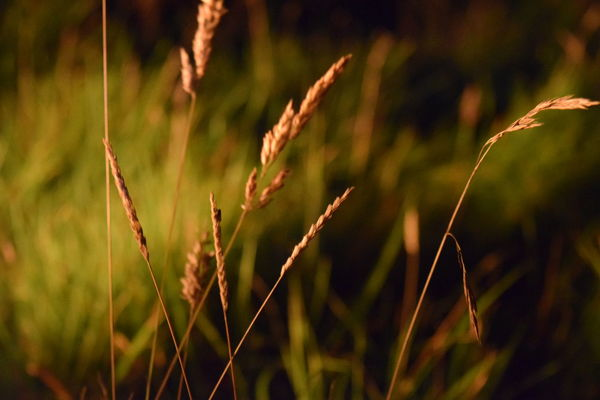 Grass glowing in the firelight Nature Growth Grass No People Plant Close-up Field Outdoors Beauty In Nature Campfire Scotland Devil's Pulpit Night Glowing