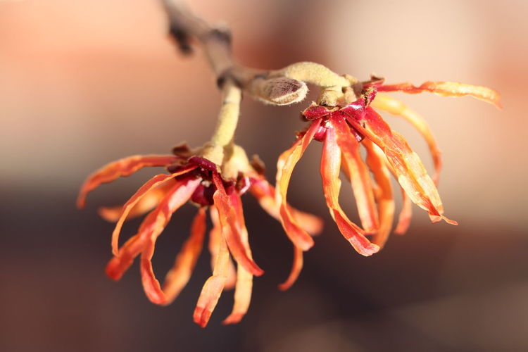 Zaubernuss Hamamelis Eeyem Photography Beauty In Nature Best Shots EyeEm Eeyemgallery Eeyem Nature Lover Macro Photography Special View View Other Point Of View No People No Filter, No Edit, Just Photography Flower Insect Close-up Flower Head Pollen Blooming In Bloom