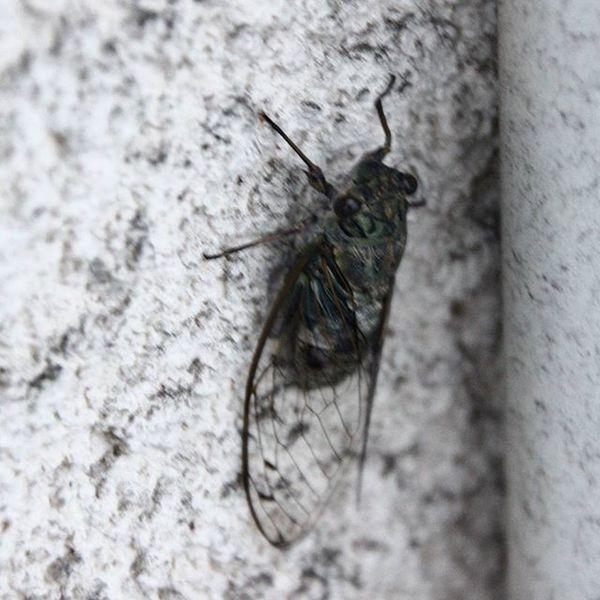 まだお休み中?の蝉。 今朝、ベランダに出るといました。 微動だにしないので寝ているのかな? 蝉 今朝 寝ている 写真撮ってる人と繋がりたい 写真好きな人と繋がりたい カメラ友達募集 cicada