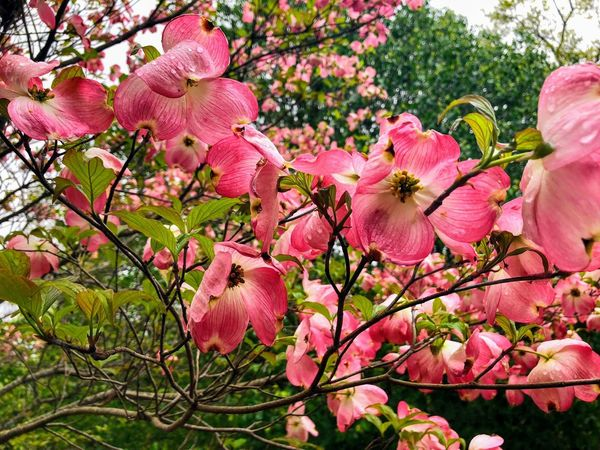 Dogwood in Bloom Dogwood Plant Pink Color Flowering Plant Flower Growth Freshness Beauty In Nature Fragility Vulnerability  Tree Petal Day Nature No People Close-up Branch Inflorescence Low Angle View Flower Head