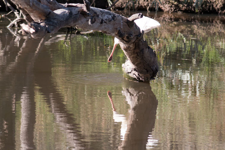 Yellow Spoonbill Australian Birds In The Wild Animal Themes Animal Wildlife Animals In The Wild Bird Day Lake Mammal Nature No People One Animal Outdoors Reflection Tree Water Waterfront