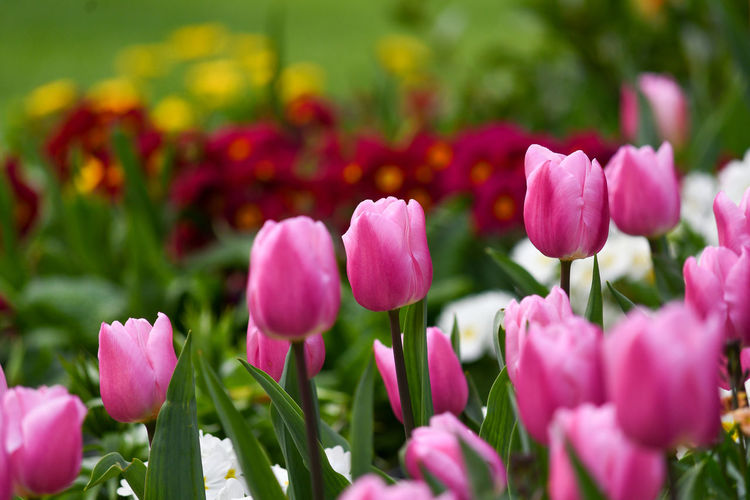 Close-up of pink tulips in field