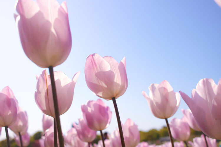 Close-up of pink tulips against sky