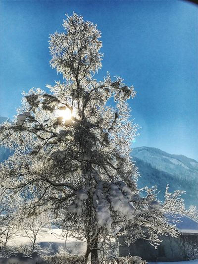 Nature Growth Tree Low Angle View Sunlight Branch Beauty In Nature Sky Blue Flower No People Springtime Scenics Sun Outdoors Freshness Cold Temperature Day Fragility Snow
