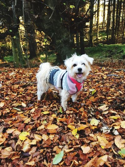 Autumn Change Dog Pets Forest Beauty In Nature WoodLand Outdoors Darcie Morkie