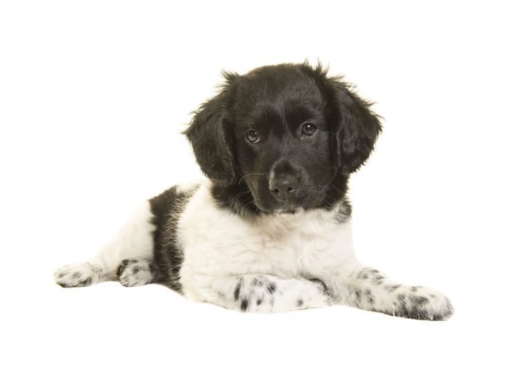 Cute stabyhoun puppy dog lying on the floor looking at the camera isolated on a white background Rare Breed  Animal Animal Themes Dog Domestic Animals Dutch Breed Looking At Camera Lying Down Pets Puppy Stabyhoun Stabyhoun Puppy Studio Shot White Background Young Animal