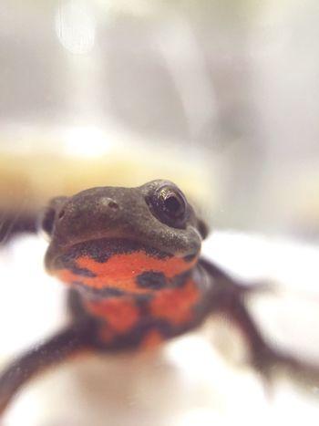 アカハライモリ 両生類 Newt Japanese Fire Belly Newt Amphibians Terrarium Pets