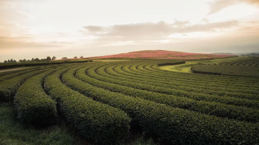 Scenic view of tea farm
