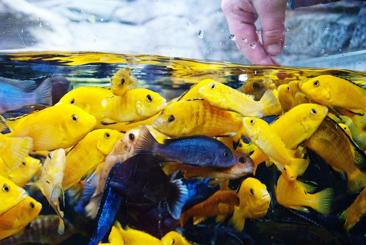 Feeding The Fish 🐟🐠🐡 Yellow Close-up Day Water Outdoors Animal Themes Nature UnderSea Aquarium Fish Fishes School Of Fish Shoal Of Fish Shoal Tropical Fish Warm Water Fish Fish Food Feeding Time Bright Fish Hungry Paint The Town Yellow Done That. Business Stories Inner Power