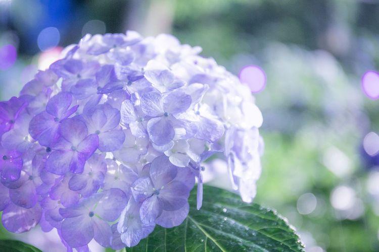 今週末も雨とのことで・・・そろそろ紫陽花の時期が終わる。。 紫陽花のない雨の日はどう過ごそうか。 Flowering Plant Flower Plant Beauty In Nature Fragility Vulnerability  Freshness Close-up Petal Purple Growth Inflorescence Flower Head Nature Focus On Foreground Day No People Outdoors Hydrangea Springtime Lilac Purity Dew