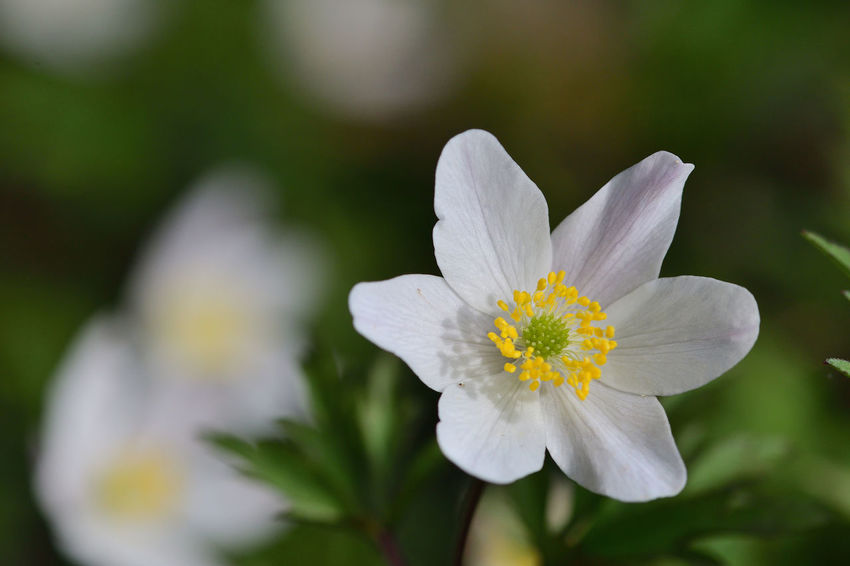 Check This Out EyeEm Best Shots EyeEm Nature Lover Freshness Growth Nature Taking Photos Wildflower Wood Anemone Beauty In Nature Blooming Close-up Day Flower Flower Head Focus On Foreground Fragility Macro Nature_collection No People Outdoors Selective Focus Spring Flowers Springtime White Flower