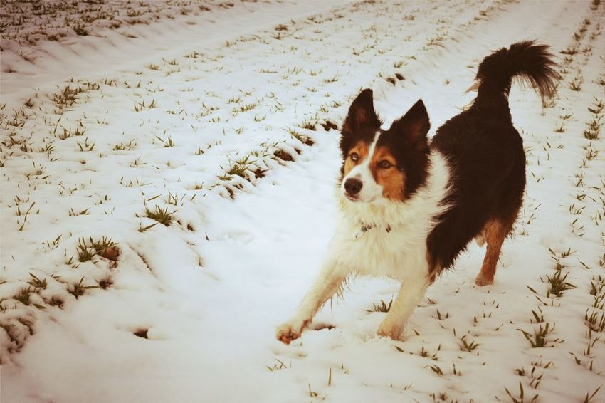 Winter Animal Themes Cold Temperature Snow Pets Dog Outdoors Beauty In Nature Wartberg One Animal Domestic Animals Winter 2017 How's The Weather Today? January 2017 Dogslife Dogwalk Dogs Of EyeEm Dog Of The Day Dogs Of Winter Close-up Running Portrait Fieldscape Winter