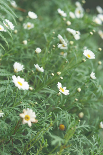 Flowering Plant Flower Plant Freshness Beauty In Nature Growth Fragility Vulnerability  Petal White Color Green Color Flower Head Inflorescence Close-up No People Nature Day Land High Angle View Selective Focus Outdoors