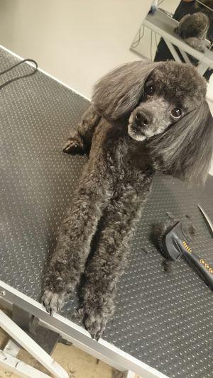 Dogstylist<3 Doggroomers LoveMyWork Dog Poodle