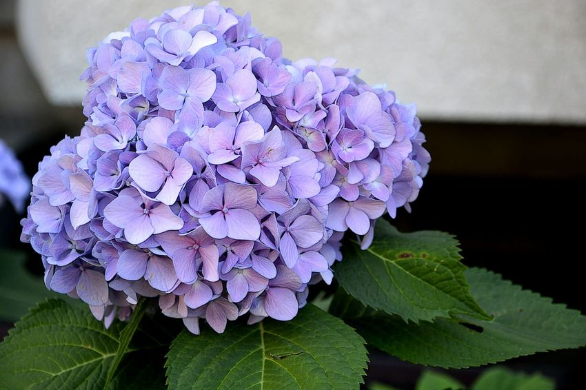 Beauty In Nature Blossom Botany Bunch Bunch Of Flowers Close-up Day Flower Flower Head Focus On Foreground Fragility Freshness Growth Hydrangea In Bloom Leaf Nature Petal Pink Color Plant Purple Scented Selective Focus Softness Springtime