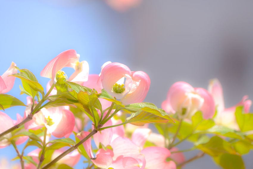 Seasonal color Dogwood FUJIFILM X-T1 EyeEm Gallery EyeEm Best Shots Fukuoka Beauty In Nature Kitakyushu Japan Fujifilm_xseries Taking Photos Flower Nature Softfocus Soft Focus Dogwoodflowers Dogwood Spring