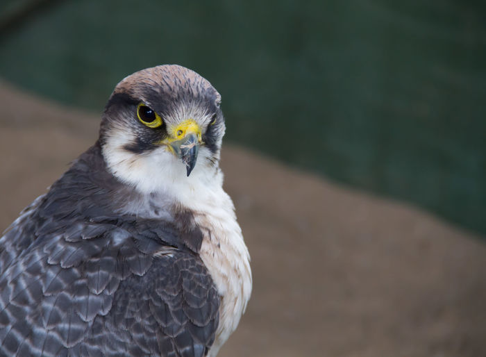Alertness Animal Eye Beak Beauty In Nature Bird Bird Of Prey Close-up Falcon Falconry Feather  Focus On Foreground Nature Selective Focus Stare Wildlife