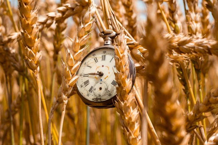 Antique pocket watch in dry wheat field Antique Pocket Watch In Dry Wheat Field Time Plant Clock Agriculture Cereal Plant Nature Gold Colored Crop  Wheat Close-up No People Number Alarm Clock Clock Face Instrument Of Time Minute Hand Animal Outdoors Selective Focus Farm The Great Outdoors - 2019 EyeEm Awards