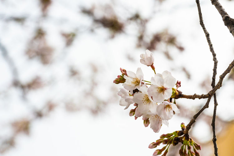 Plum Blossom Pistil Pollen Cherry Blossom Cherry Tree Rhododendron Stamen Blooming Osteospermum Hibiscus Passion Flower Cosmos Flower Day Lily In Bloom Apple Blossom Magnolia Fruit Tree Orchard Apple Tree