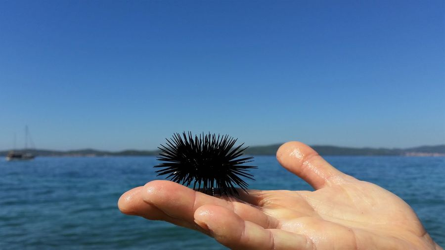Cropped image of hand holding sea urchin against clear blue sky